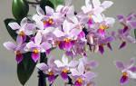 Выращиваем красивую орхидею без хлопот
