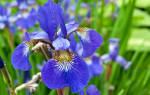 Уход осенью за ирисами после цветения