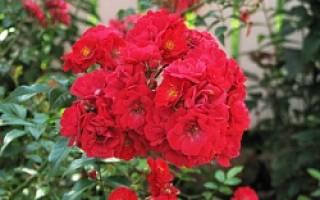 Уход за розами и фотографирование цветов
