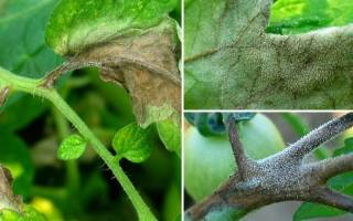 Симптомы фитофтороза томатов
