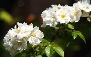 Роза сорт бобби джеймс bobbie james