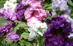 Левкой выращивание из семян и основные правила ухода за цветами