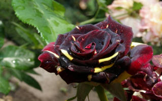 Роза абракадабра abracadabra описание сорта и фото