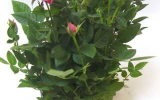Роза патио микс уход в домашних условиях
