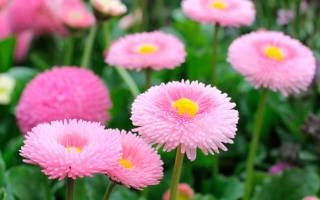 Цветы маргаритки сорта описание как выглядят