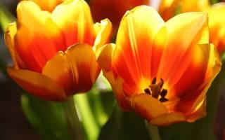 Популярные сорта многоцветковых тюльпанов