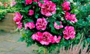 Как зимует садовый гибискус в саду