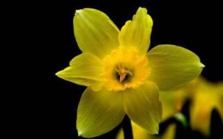 Цветок нарцисс что это такое