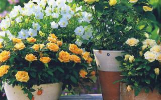 Земля для розы комнаной