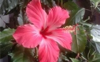 Гибискус как вывести махровый цветок