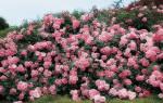Розы парковые фото с названием сорта