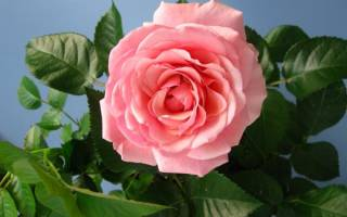 Как взять отросток у розы комнатной