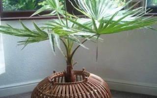 Вашингтония робуста комнатная пальма