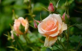 Чайная роза обрезка и уход