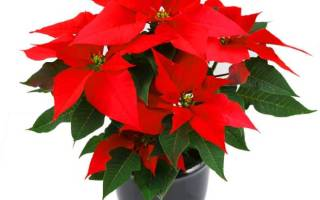 Цветы с красными листьями фото и названия