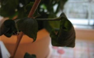 Гибискус листья стали липкими почему