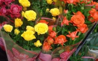 Делаем правильный выбор комнатной розы