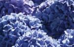 Болезни и вредители садовой гортензии