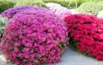 Азалия садовая особенности вида фото