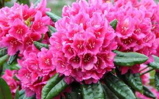 Рододендрон описание цветка