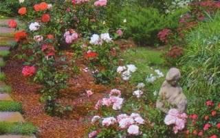 Уход за розами в открытом грунте для новичков мульчирование почвы