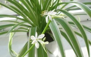 Как выглядит хлорофитум декоративная ценность комнатного цветка