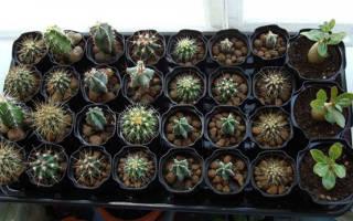 Как выглядят семена кактусов с фото