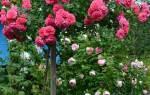 Роза на штамбе посадка и уход