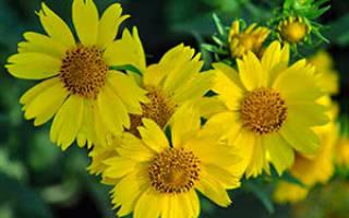 Цветы ипомопсис выращивание из семян и уход с фото