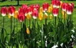 Когда лучше всего сажать тюльпаны на дачном участке