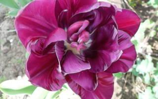 Когда цветут тюльпаны в россии