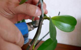 Как отросток орхидеи пересадить