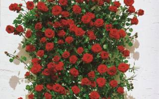 Роза сангрия фото и описание
