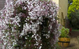 Чубушник жасмин садовый