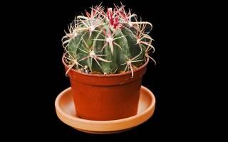Где растет ферокактус и описание растения