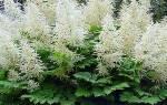 Условия посадки астильбы и уход за растением