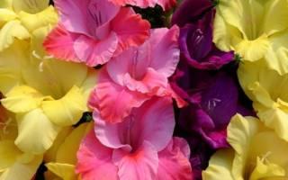 Сорта гладиолусов с крупными цветами