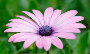 Фиолетовая ромашка название