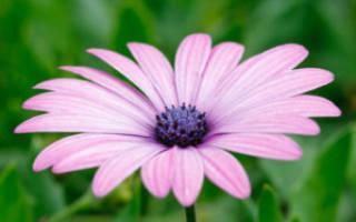 Цветы похожие на ромашку
