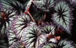 Декоративнолистные комнатные растения