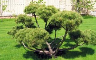 Деревья для создания бонсай