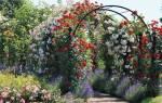 Чем отличаются плетистые розы от вьющихся