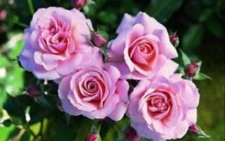 Сорта морщинистой розы