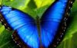 Глоксиния как цветет