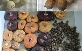 Секреты выращивания гладиолусов