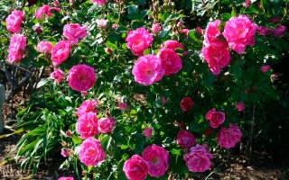 Роза надежда канадская