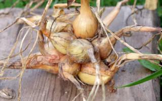 Однолетний лук раннеспелый сорт юржек