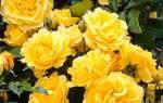 Роза плетистая голден шауерс