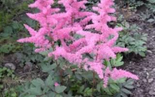 Что такое тенелюбивые цветы