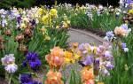 Ирисы в саду композиции